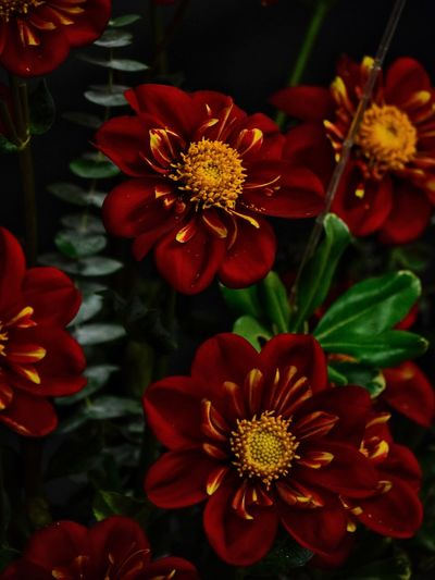 Dahlia Dahlia Flowers Dahlia Flower Background Backgrounds Flowering Plant Flower Plant Beauty In Nature Freshness Flower Head Petal Close-up Fragility Red Inflorescence Vulnerability  No People Nature Growth Multi Colored Pollen Outdoors Focus On Foreground Yellow