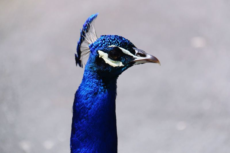 Bird One Animal Animal Themes Animals In The Wild Peacock Focus On Foreground Beak Blue Close-up Animal Wildlife Feather  Animal Head  Outdoors Beauty In Nature Blurred Background k