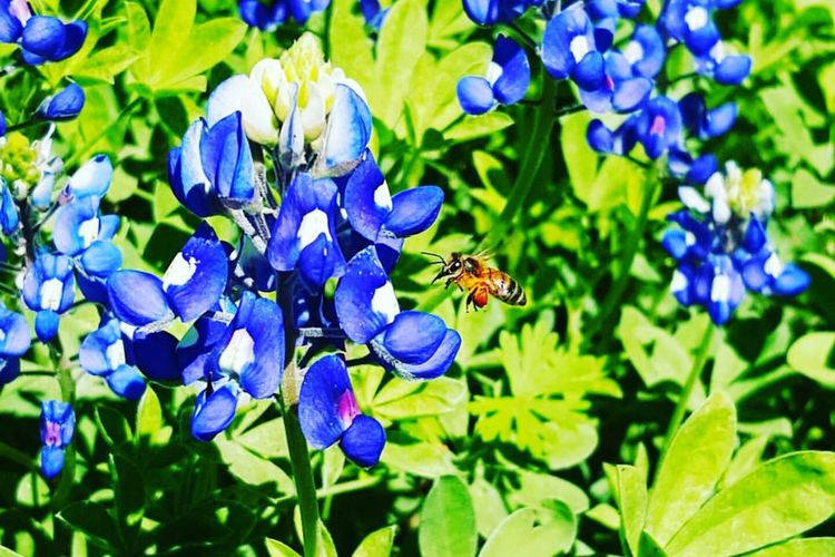 Bluebonnets Texas Landscape Texasbluebonnets Bee 🐝 Beeandflower In Your Face Photography Insect Photography Nature Photography Eye4photography  Nature_collection Amaturephotography Texaslife Flower Collection