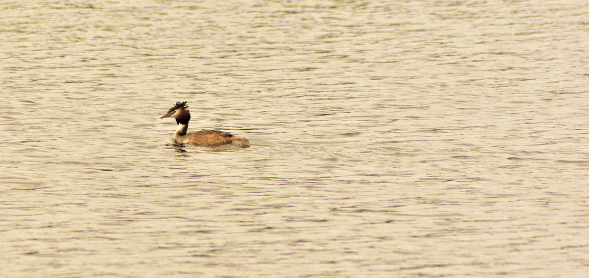Alertness Beauty In Nature Great Crested Grebe Podiceps Cristatus Regal Bird Rippled Water Swimming Waterfowl