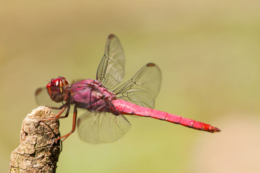 Dragonfly Animal Themes Animals In The Wild Anisoptera Close-up High Magnification Insect Insects  Macrophotography Odonata One Animal Twig