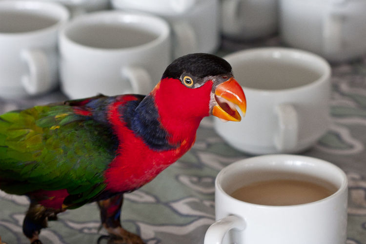Animal Themes Bird Cafe Close-up Coffee - Drink Coffee Cup Cup Day Drink Food Food And Drink Freshness Indoors  Kaffee Kaffepause Koffein Malediven  Maledives Multi Colored No People Papagei Papagei Trinkt Cafe Papageitaucher Paradiesvogel Parrot Refreshment Tea - Hot Drink Teapot