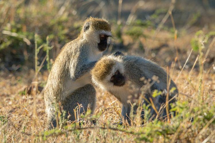 Vervet monkey sits grooming another on savannah