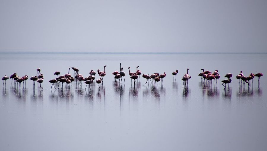 Flaminghost. Lake Natron. Tanzania Tanzania Lake Natron Minimalism Photography Minimalism_masters Flamingo Minimalism Minimal EyeEm Selects Flamingo Bird Water Colony Nature Reserve Pink Color Sky Flock Of Birds Large Group Of Animals Water Bird