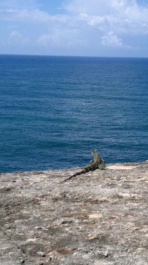Iguana Beauty