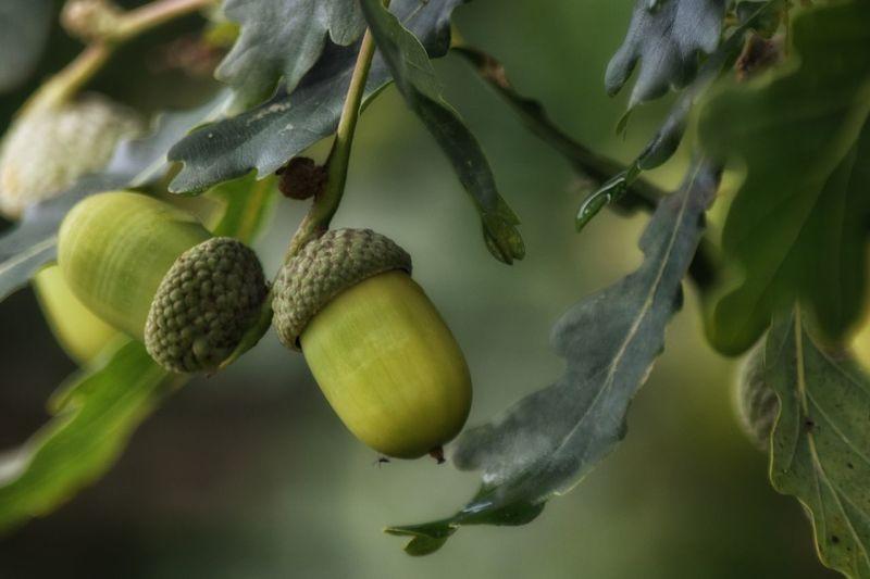 Acorns Leaf Acorn Nut - Food No People Growth Food Plant Close-up Nature