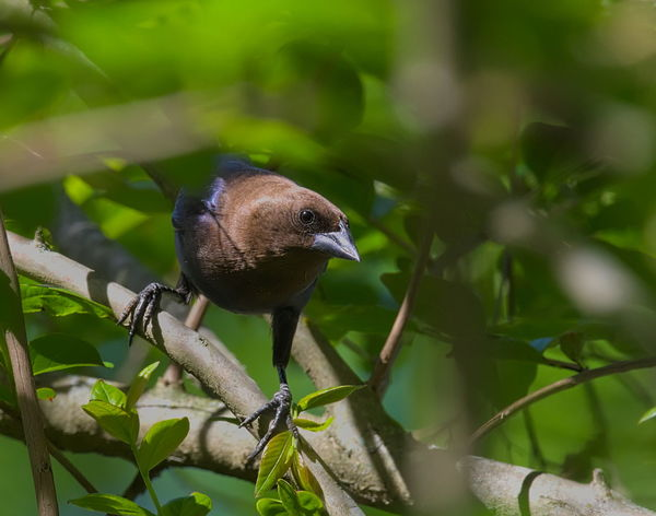 Male cow bird Bird Photography Birds Of EyeEm  Animal Animal Themes Animal Wildlife Animals In The Wild Bird Birds Close-up Cowbird Day Focus On Foreground Green Color Growth Leaf Male Nature No People One Animal Outdoors Perching Plant Plant Part Selective Focus Vertebrate