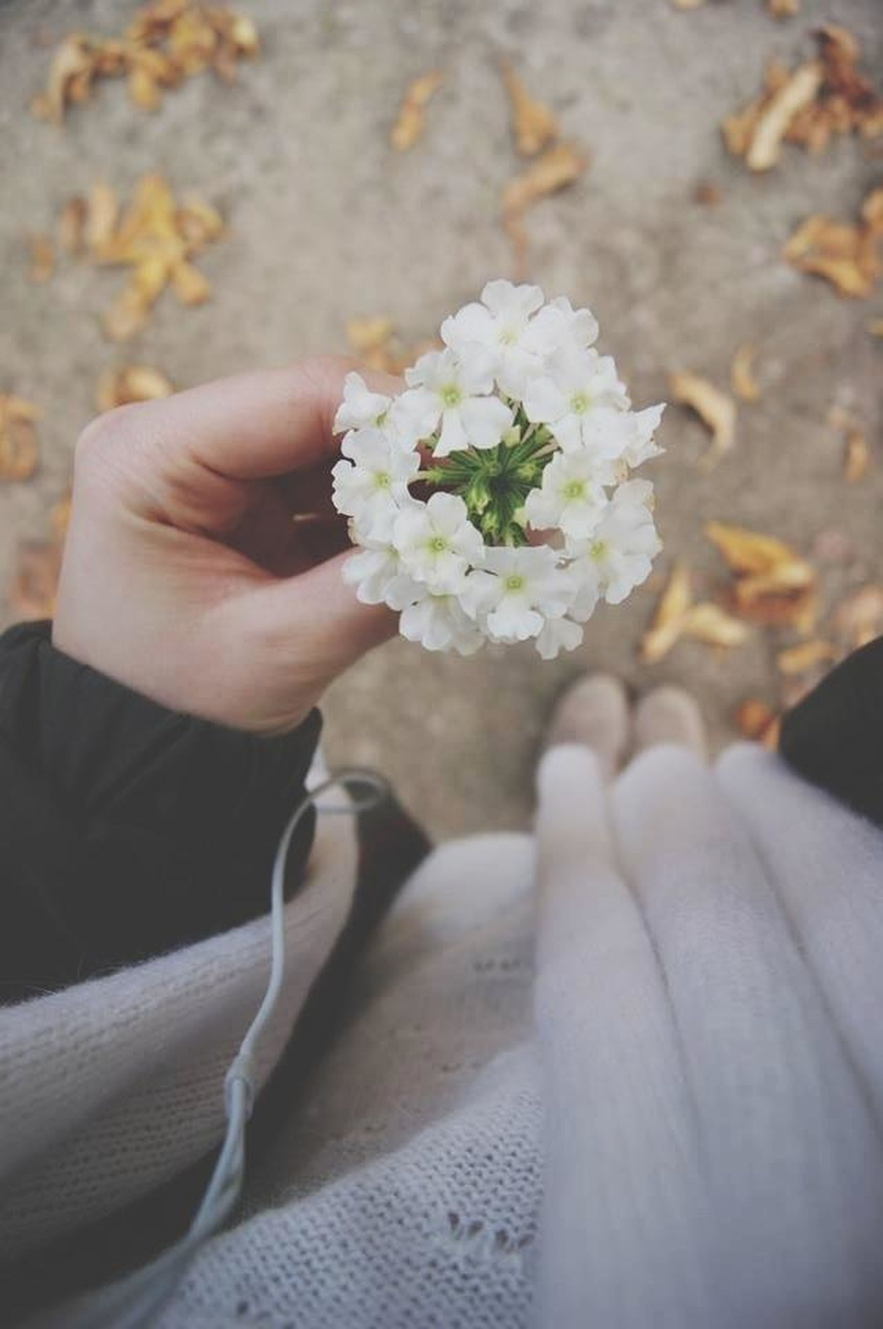 flower, person, freshness, petal, holding, fragility, flower head, white color, part of, close-up, high angle view, beauty in nature, lifestyles, focus on foreground, cropped, human finger, unrecognizable person