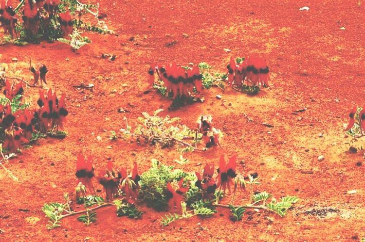 Deserts Around The World Desert Pea Flower Australia Red Earth Red Earth Sand