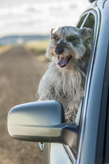 Dog looking away in car