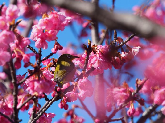 Pink-colored cherry blossoms,blue sky and white-eye. Flower Flowers Flower Photography Cherry Blossoms Sakura 桜 河津桜 Nature Beauty In Nature Nature Beauty In Nature Bird Bird Photography Whiteeye メジロ Freshness Clear Sky Pink Color No People Close-up Scenics NoEditNoFilter Olympus Japan M.ZUIKO DIGITAL