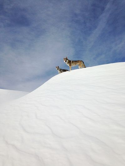 Low angle view of wolves standing on snow during winter