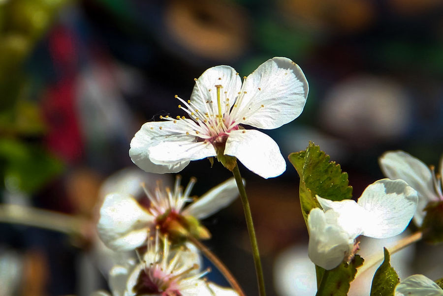 cherry flowers Beauty In Nature Blooming Blossom Botany Cherry Flowers Close-up Flower Flower Head Focus On Foreground Fragility Freshness Growth In Bloom Nature No People Outdoors Petal Pistil And Stamens Plant Pollen Selective Focus Stamen White White Color