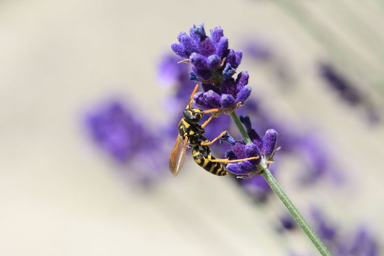 Close-up of bee pollinating on purple flower buds