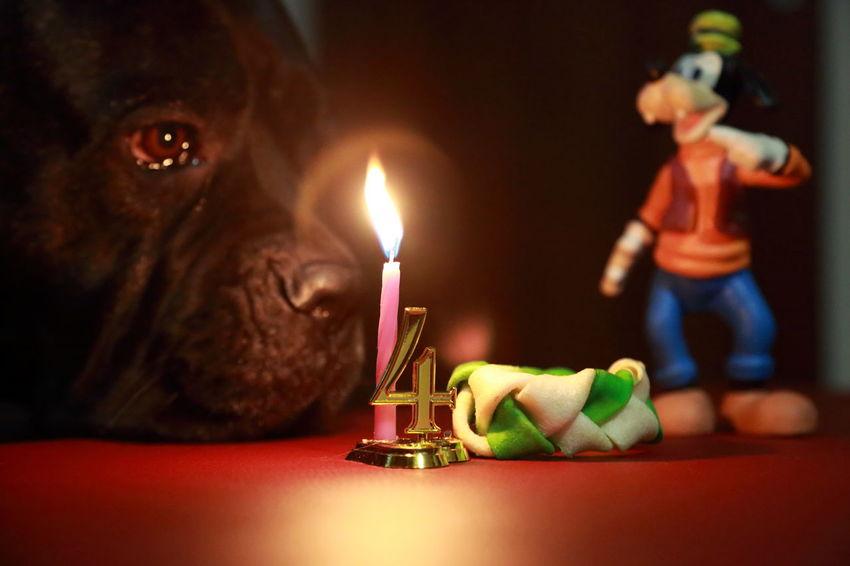 Bokeh Photography Cane Corso Lover Four Fun Happy Birthday! Illuminated Lifestyles Pippo Waltdisney