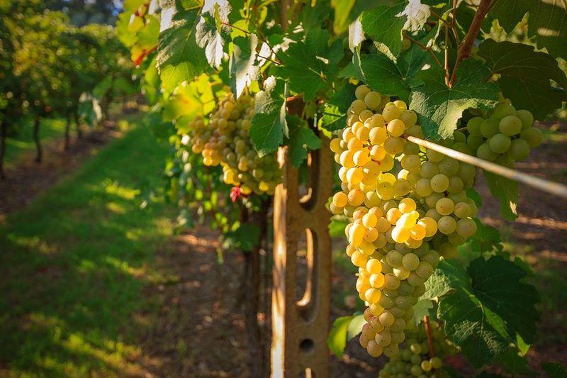 Profumo d'estate. Tadaa Community Grapevine Summer Landscape Uva The Essence Of Summer The Essence Of Summer- 2016 EyeEm Awards