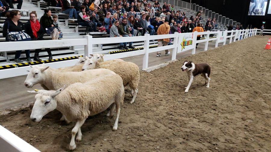 Dog Sheep Herding Sheep Agriculture Flock Of Sheep Livestock