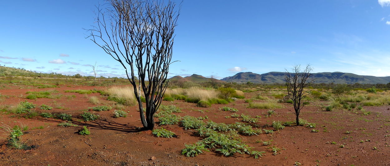 Arid Climate Bare Tree Beauty In Nature Branch Central Australia Day Desert Iron Ore Country Landscape Mountain Nature No People Outdoors Panorama Pilbara Region Australia Red Earth Scenics Sky The Great Outdoors - 2017 EyeEm Awards Tranquil Scene Tranquility Tree