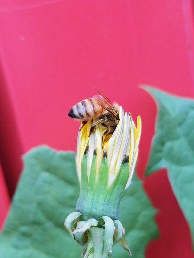 Bee Dandelion 2