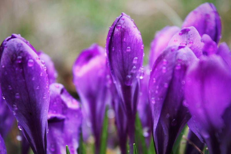 Close-up of wet purple crocus flowers