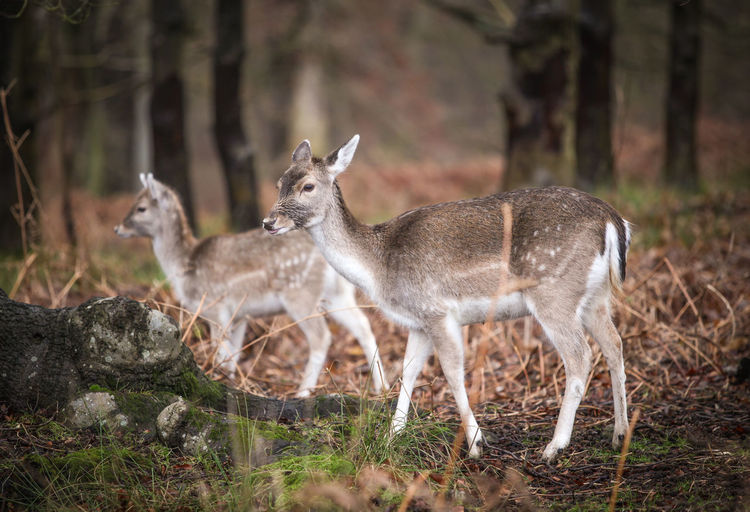 Deer at Knole... Animal Animal Themes Beauty In Nature Day Deer Field Focus On Foreground Forest Grass Herbivorous Horned Mammal Nature No People Outdoors Portrait Selective Focus Wildlife Young Animal