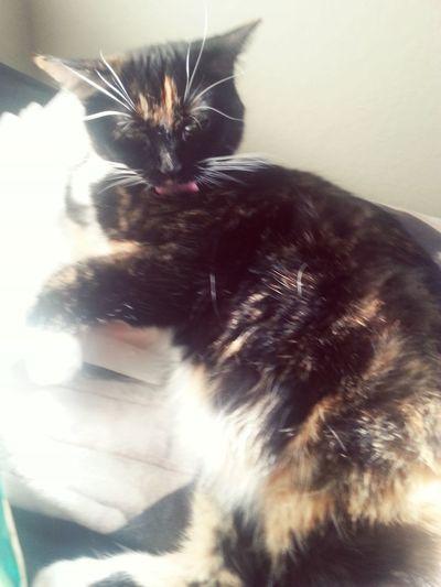 Hi! Cat♡ Catloversworld Pets Petlover CatLadyForlife Cat Lovers Toungeouttuesday Enjoying Life Relaxing