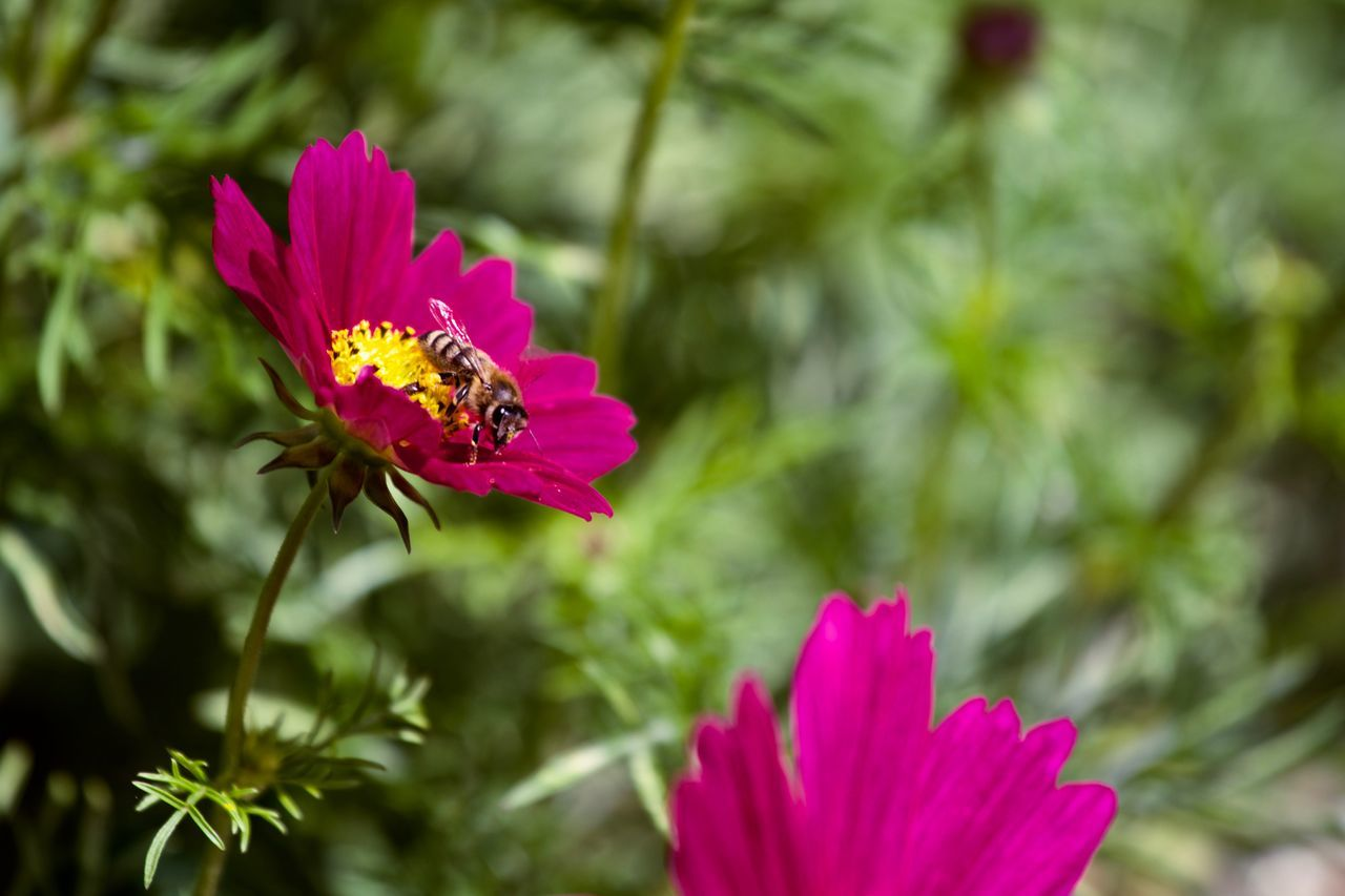 flower, petal, pink color, fragility, flower head, growth, nature, beauty in nature, plant, insect, freshness, focus on foreground, blooming, one animal, pollen, day, no people, outdoors, animal themes, close-up, animals in the wild, cosmos flower, pollination, animal wildlife, bee, zinnia