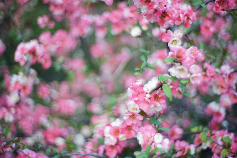 木瓜でボケ Bokeh (´ー`) Japanese Quince Bokeh Photography EyeEm Tokyo MeetUp 12 Flowers Flower Flowerporn Flower Collection EyeEm Best Shots - Flowers EyeEm Nature Lover Nature Photography Nature Nature_collection Snapshot Taking Photos Walking Around お写ん歩