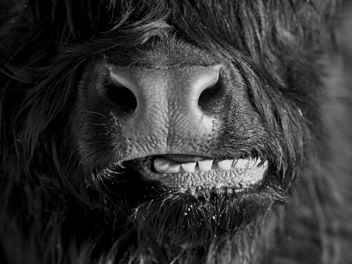 Close-up portrait of scottish highland bull