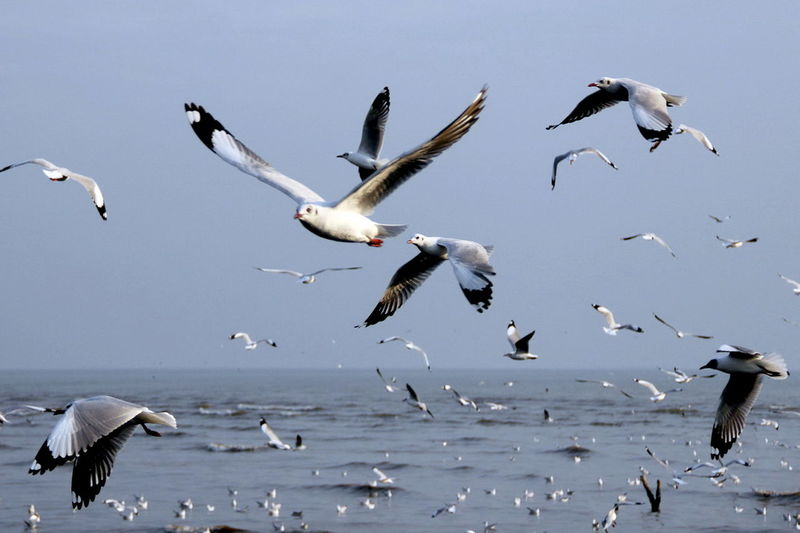 Animal Themes Animal Wildlife Animals In The Wild Beauty In Nature Bird Day Flock Of Birds Flying Large Group Of Animals Mid-air Motion Nature No People Outdoors Sea Seagull Sky Spread Wings Water
