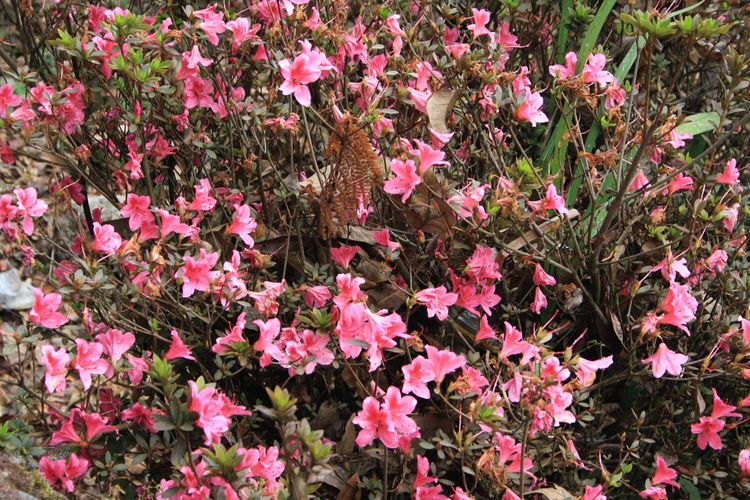 Flower Pink Color Nature Beauty In Nature Growth Outdoors Fragility Day Plant Freshness No People Flower Head Blooming Close-up El Salvador Impresionante EL SALVADOR 503 Country Life Architecture El Salvador Cultures Countrylife Beauty Flowers
