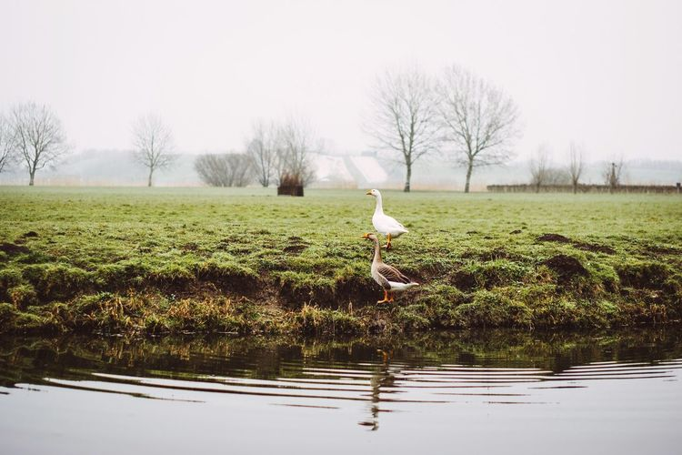 Foggy mornings Morning Geese Utrecht Netherlands The Great Outdoors - 2018 EyeEm Awards Animals In The Wild Animal Bird Animal Wildlife Plant Wetland Outdoors Lake Reflection Nature No People Grass