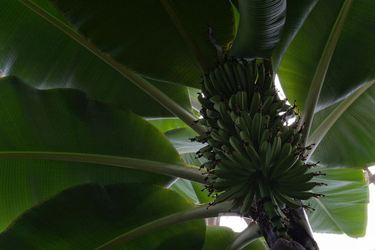 Banana Plant Plant Photography Nature Tropical Bananas Bunches Of Bananas Green Tropical Plants Tropical Fruits Botany Natural Pattern Tranquility Low Angle View Part Of Abstract