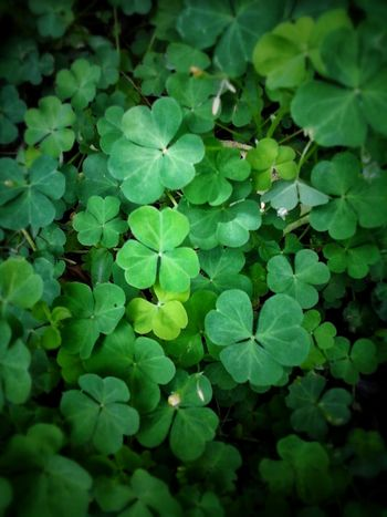 Clover Clover Leaf Clover Field Cloverleaves Lucky Shot Luckyshot Green Color Green Leaves Green Nature Green Leaf Greenlife Simple Photography Simple Things Are The Best  Simple And Beautiful Pattern, Texture, Shape And Form Patterns & Textures Patterns In Nature Patterns And Designs In Nature Pattern Of Nature Pattern Photography