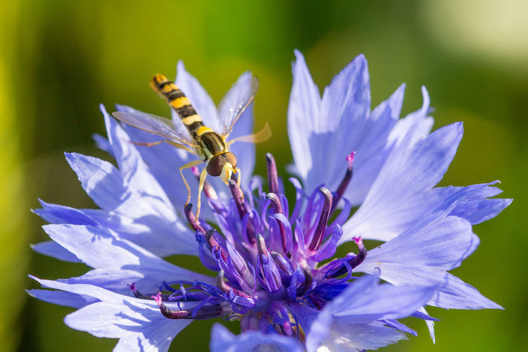 Chicory Bachelors Button Beauty In Nature Bee Blooming Blossom Close-up Cornflower Floral Flower Flower Head Fragility Freshness Growth Hornet Inflorescence Insect Macro Petal Plant Pollination Purple Springtime Vulnerability  Wild Flowers