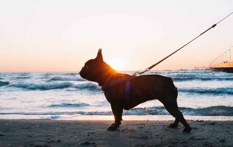 Dog on beach against sky during sunset