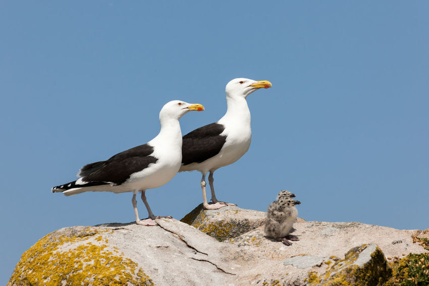Black backed gull family standing proudly. Saltee Island, County Wexford, Ireland Ireland Nature Nature Photography Saltee Islands Wildlife & Nature Wildlife Photography Animals In The Wild Bird Bird Family Blackback Seagull Clear Sky County Wexford Gull Family Gulls On Rocks Nature Perching Seagull Wildlife