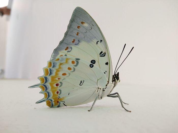 ขาวละมุน White Background Full Length Close-up Butterfly - Insect Animal Markings
