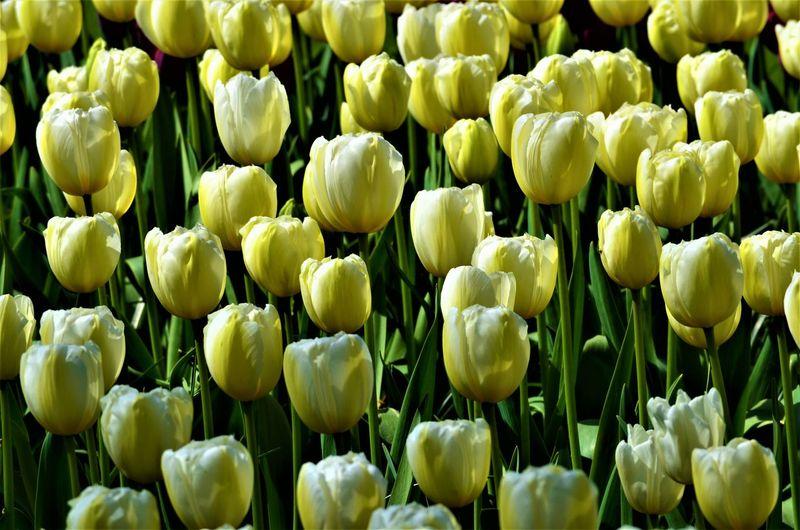 Full frame shot of white tulips