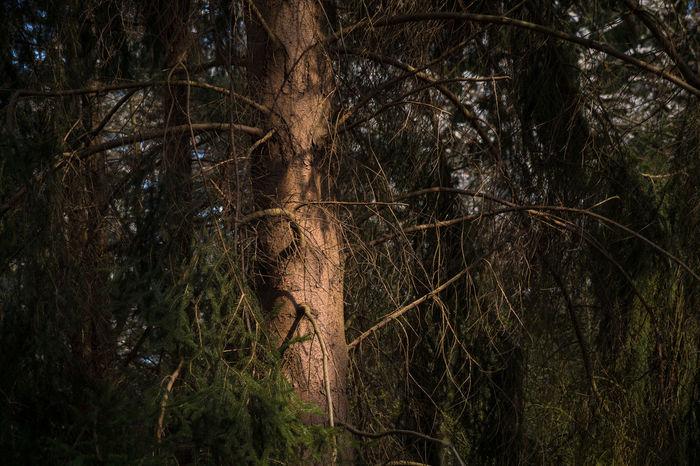 Baum Branches Enjoying Silence Evening Sun EyeEm Nature Lover Forest Licht Und Schatten Light And Shadow Natur No People Pine Tree Springtime Sunlight Tree Trees Wooden