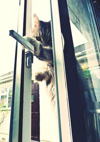 Mainecoon Cat Cat Burglar Feline Pets Cats Of EyeEm