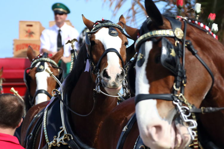 Animal Animals Bay Budweiser Budweiser Clydesdales Carraige Clydesdales  Deerfield Beach Equine Horse Horses Mammal South Florida