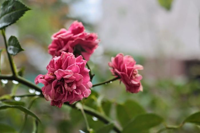 Beauty In Nature Day Flower Flower Head Fragility Freshness Nature No People Petal Pink Color Plant