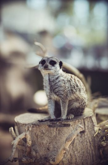 Meerkat Animal Animal Themes Animal Wildlife Close-up Day Full Length Look In Camera One Animal Outdoors Rock Selective Focus Siiting