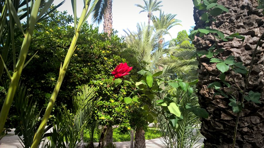 Flower Growth Nature Plant Day Outdoors Beauty In Nature Nature Alicante Spaın Spain🇪🇸 Alicante, Spain Spanishlife Spain_vacations Spainiswonderful Spainphotographer Rose - Flower Roses Are Red Rose🌹 Red Rose Natural Red Red Flower Red Color