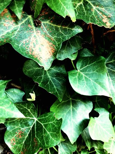 Leaf Eyeme New Here Ivy Green Summer Exploratorium Going Remote Green Color Plant Part Growth Nature Plant Close-up Leaf Vein High Angle View The Great Outdoors - 2018 EyeEm Awards