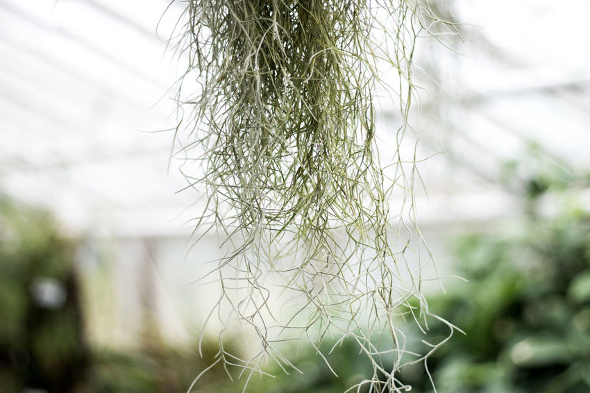 Green Plant Beauty In Nature Close-up Day Focus On Foreground Greenhouse Hanging Plant Nature No People Outdoors