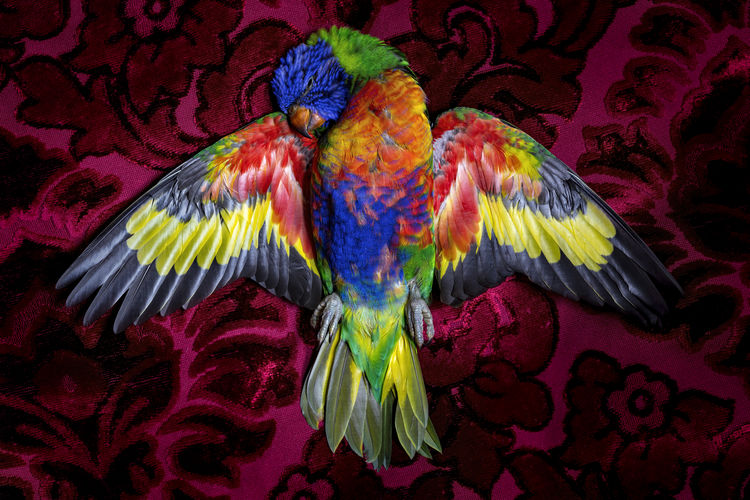 Mortality Bird Close-up Multi Colored One Animal Parrot Spread Wings