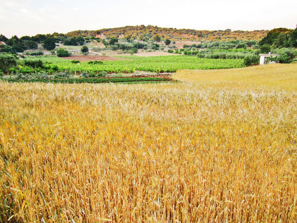 Wheat field in Valle d'Itria, Puglia Panorama Puglia Tranquility Wheat Wheat Field Agriculture Beauty In Nature Cereal Plant Crop  Field Grass Growth Italy Landscape Nature No People Outdoors Rural Scene Scenics Summer Tree Valle D'itria Yellow Field