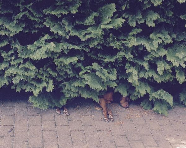 Hiding place Animal Deceptively Simple Dog Dog Life Dog Love Dog Sleeping  Doglife EyeEm Dog Greenery Heat Heat - Temperature Hot Day Hungarian Vizsla Magyar Vizsla Pastel Colors The Essence Of Summer Animals Relaxing Moments Shelter Summer Memories 🌄 Summer Views Summertime Nana's Life Vizsla Vizsla Life